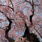 予想的中! 桜が良いぞ。