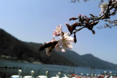 160426_sakura_tyuzenji