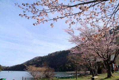 160508_yumoto_sakura