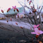 """Akayasio"" Just bloomed!"