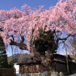 3月なのに桜満開